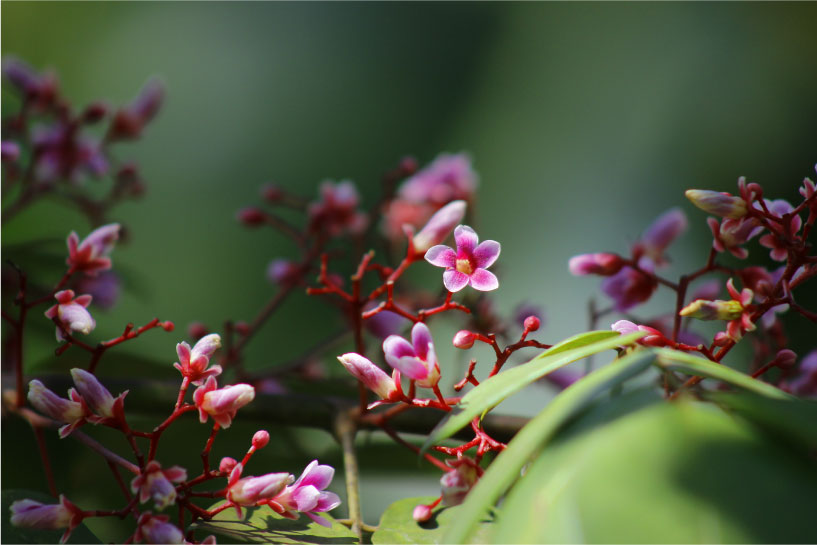 floresrosadestacada